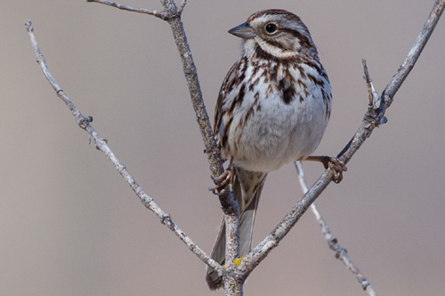 Song Sparrow, Bob Shettler