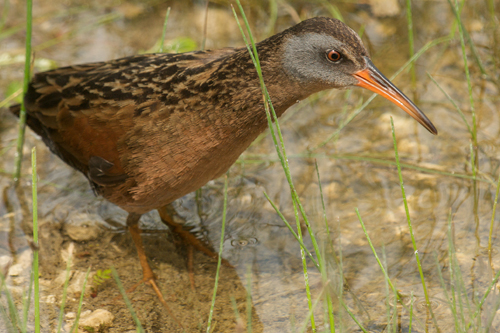 Virginia Rail, Robert Taylor