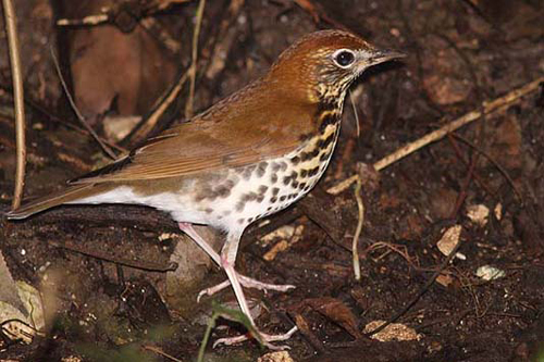 Wood Thrush, Christian Artuso