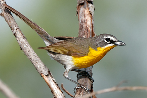 Yellow-breasted Chat, Julian Mulero